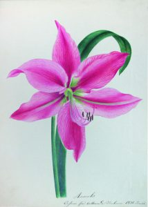 Амариллис. Рисунок Екатерины Сулимы-Кропоткиной, подписанный по-французски, в альбоме Варвары Викулиной-Кирсановой
